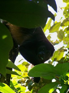 Males also call to communicate and avoid physical confrontation. Isla Boca Brava, Panama.