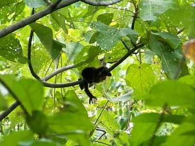 Baby howler monkey trying a little independence. Mom is close by.