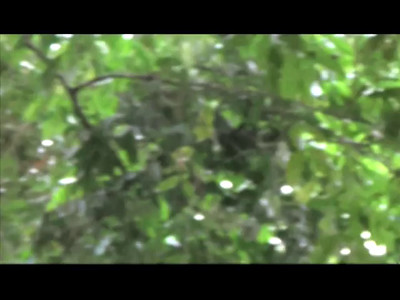 Howler monkey videos