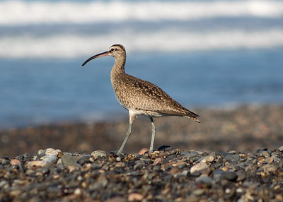 Sandpiper on a Sunday in San Clemente