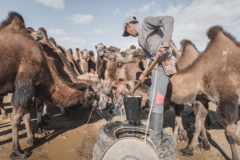 Mongolia, Gobi, 2019. A shepherd waters his own camels. According to the herders, contractors accessing underground water for the mine diverted the Undai river, reducing the supply available for livestock. They could only stand by and watch, powerless, as their pastures deteriorated and wells dried out, claiming the lives of their animals. Community groups have spoken out, accusing the industry of diminishing local water wells, but nothing has changed for the herders so far.