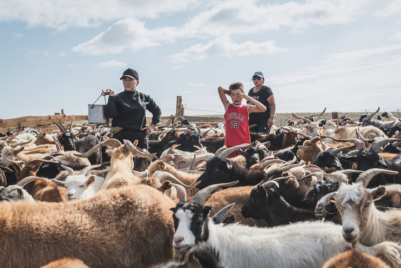 Mongolia, Gobi, 2019. Nomadic families often manage herds of hundreds of goats, sheep, cattle, and horses. Since the communist era ended, the number of livestock in the steppe has increased by around 80%. Today, herder families typically keep 200 to 500 heads of livestock. Unlike other animals, some research suggests that goats also eat grass's roots, which could be contributing to accelerated degradation.