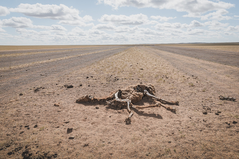Mongolia, Gobi, 2019. Carcasses of dead animals dot Khanbogd's pastures. The shepherds blame the scarcity of water and the clouds of toxic dust raised by trucks transporting minerals to the Chinese border endanger their herds.
