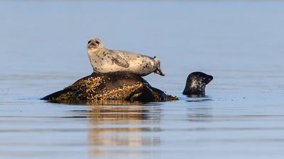Phoques ou loups-marins dans la baie de Port-Menier, Anticosti