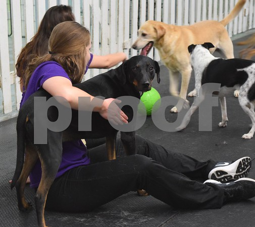 Doggy daycare attendants play with dogs at Huckleberry's Pet Parlor, 423 N. Main St. in Sycamore.