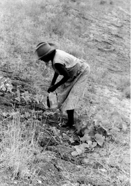 Wiliyan / Wulul (Emily Williams) picking wanpirriny (bush cucumbers), 1968
