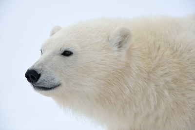 Polar Portrait