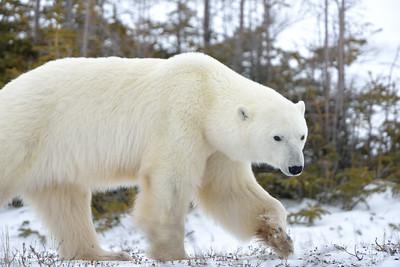 Polar Prance