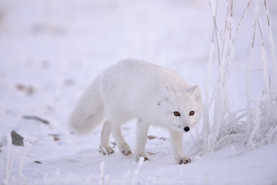 Arctic Fox on the Hunt