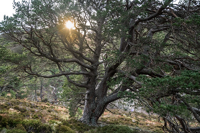 Sturdy Scots Pine