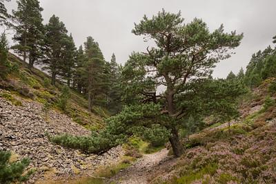 Abernethy Forest walk