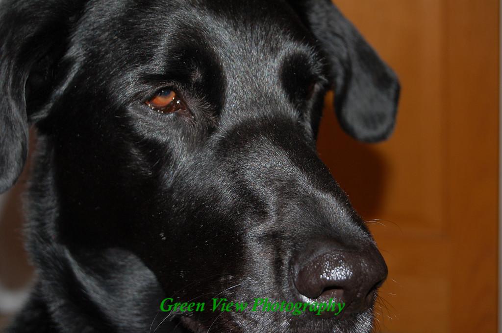 Sammy - a real handsome dog