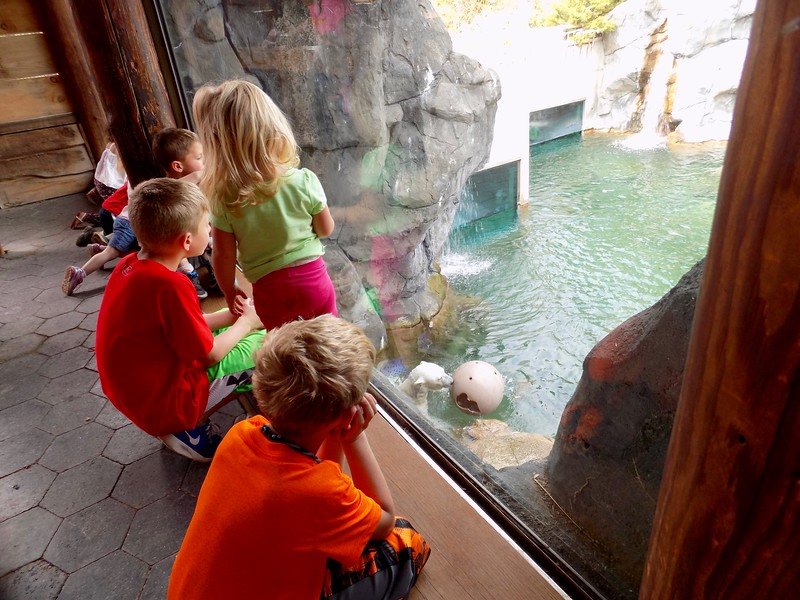 Watching the polar bear