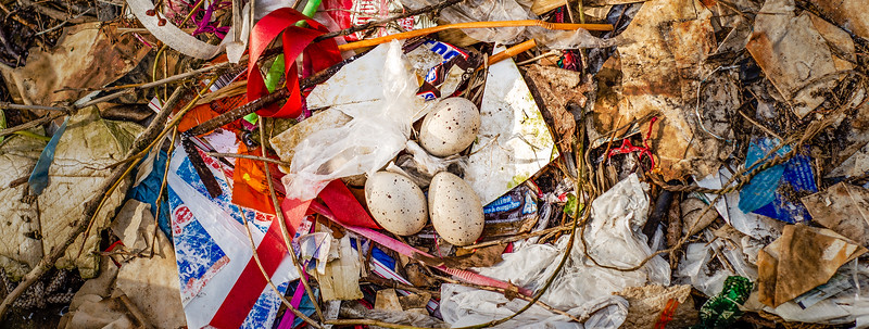 Eurasian coot nest, built in an abandon boat with twigs and human trash.