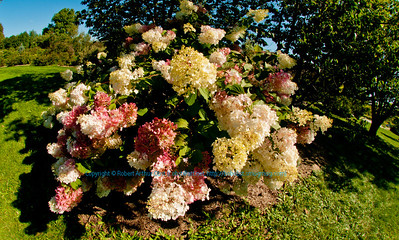 Blooming Hydrangea Paniculata or Angels Blush Panicle Hydrangea within Longenecker Gardens of the University of Wisconsin Madison Arboretum (USA WI Madison)