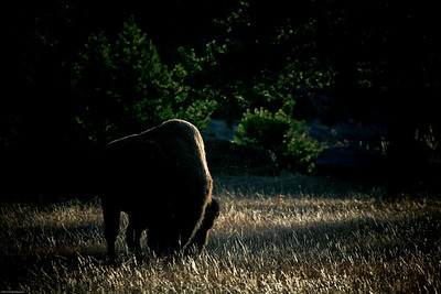 Bison near the west entrance.