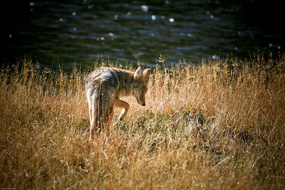 Coyote hunting.