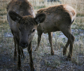 Baby elk along the Madison river.