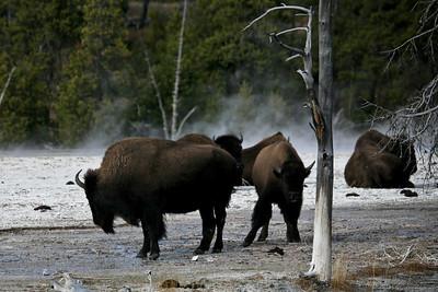 Bison at Middle Geyser Basin