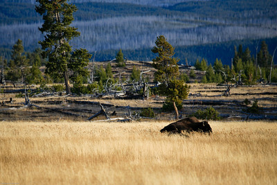 Solitary bison in the grass.