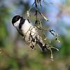 Black-capped Chickadee 4 at Arcata Marsh