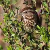 Song Sparrow Portrait at Arcata Marsh