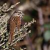 Song Sparrow at Arcata Marsh