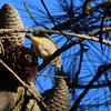 Palm Warbler at Arcata Marsh