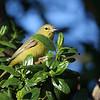 Orange-crowned Warbler at Arcata Marsh