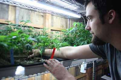 Tylor Safier of the Petrolia-based Safier Family Farms reaches for a medical cannabis clone in his booth at the Humboldt County Cup in Redway on Saturday. (Will Houston - The Times-Standard)