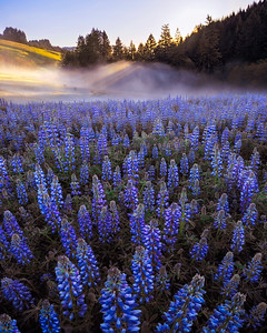 Lupine Fog Beams