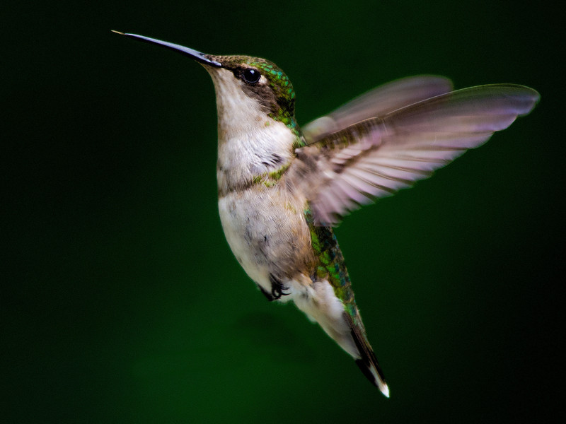 Ruby-throated Hummingbird<br /> Ballston Lake, NY