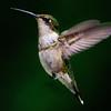 Ruby-throated Hummingbird<br /> Ballston Lake, NY
