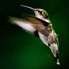 Ruby-throated Hummingbird (f)<br /> Ballston lake, NY