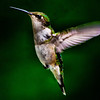 Ruby-throated Hummingbird (f)<br /> Ballston lake, NY