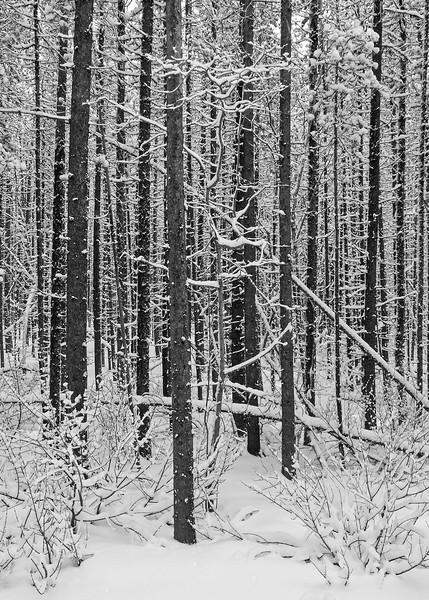 Matchstick forest on Lower Skogan.