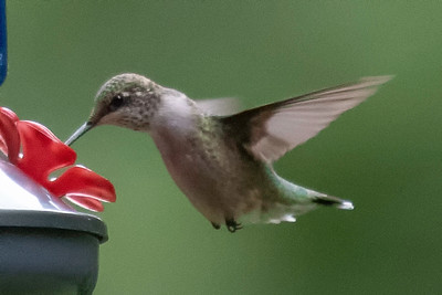 Humming Bird Photos September 2020