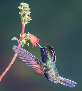 Blackbellied Hummingbird