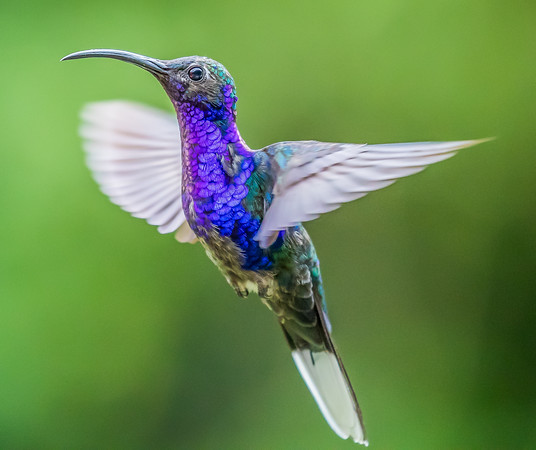 Violet Sabrewing 2