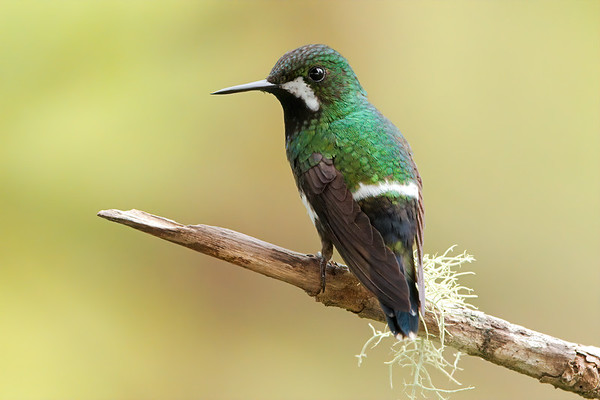 Green Thorntail (female)