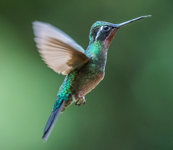 Purplethroated Majesty