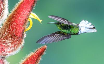 Copperyheaded Emerald Humminbird