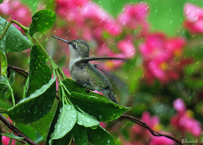 Hummingbird Enjoying The Sprinkler