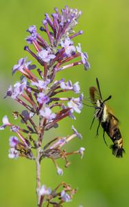 Hummingbird Moth-1