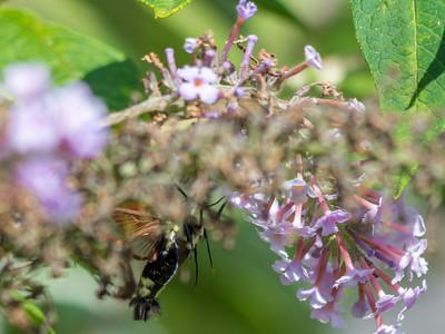 Hummingbird Moth-3
