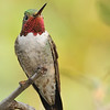 Broad-tailed hummingbird captured at Beatty's Guest Ranch,Miller Canyon,AZ.