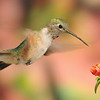 Broad-tailed hummingbird captures at Ramsey Canyon Inn,Ramsey Canyon,Az.