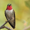 Broad-tailed hummingbird captured at Beatty's Guest Ranch, Miller Canyon,AZ.