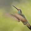 Magnificent hummingbird captured at Beatty's Guest ranch,Miller Canyon,AZ.