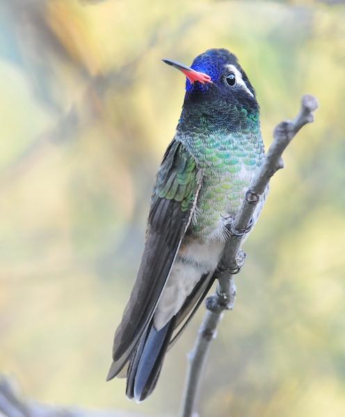 White-eared hummingbird captured at Beatty's Guest Ranch,Miller Canyon,AZ.